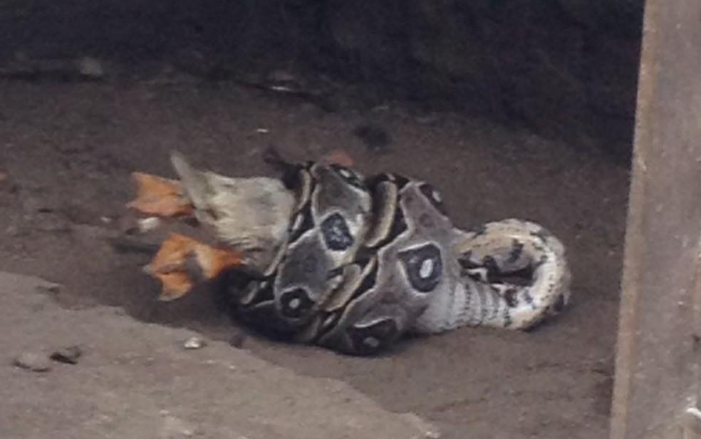 Cobra A� flagrada comendo pato no quintal de casa na Zona Sul do Recife (Foto: ReproduA�A?o/WhatsApp)