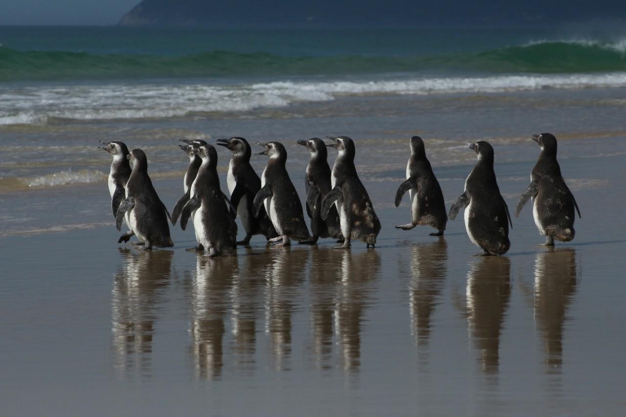 Pinguins resgatados em SC e PR são soltos em Florianópolis após reabilitação