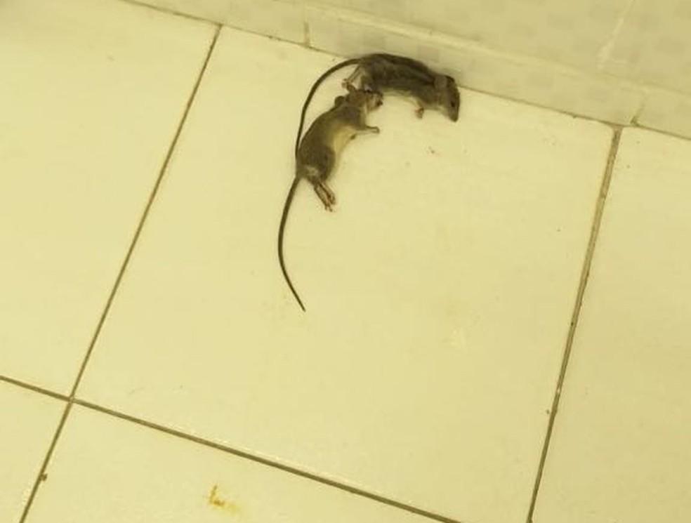 Ratos mortos foram encontrados no Hospital Regional de Rondonópolis (Foto: Sisma-MT/Divulgação)