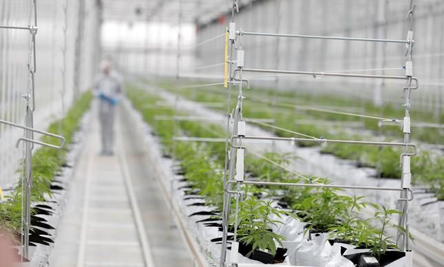 Um funcionário verifica plantas de Cannabis na estufa de uma fábrica em Cantanhede, Portugal