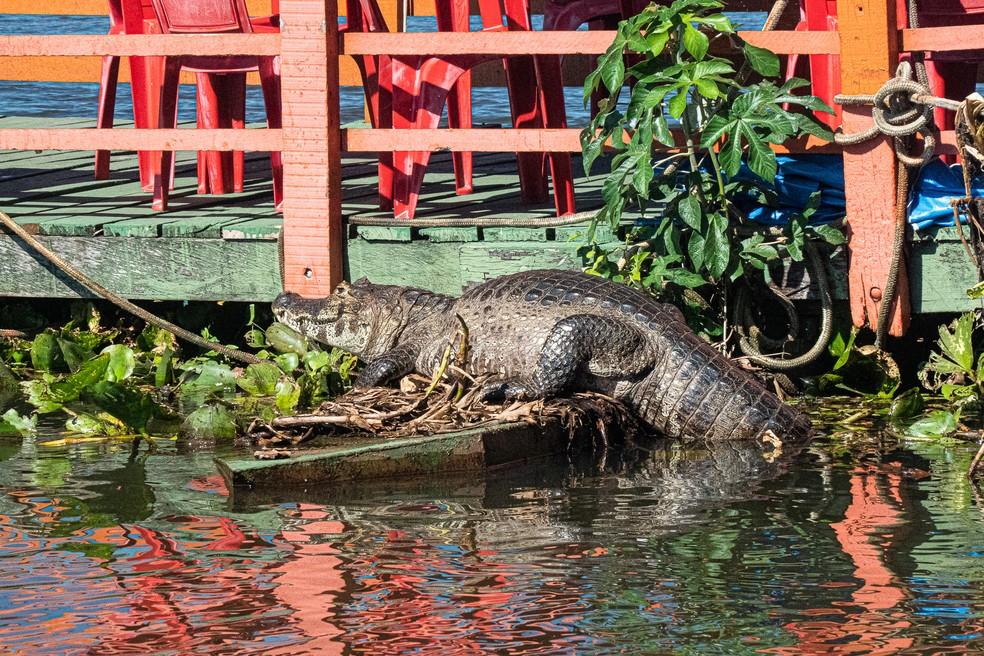 O Pantanal tem hoje uma população estimada de mais de dez milhões de jacarés (Caimam crocodilus yacare) — Foto: Eduardo Palacio / G1