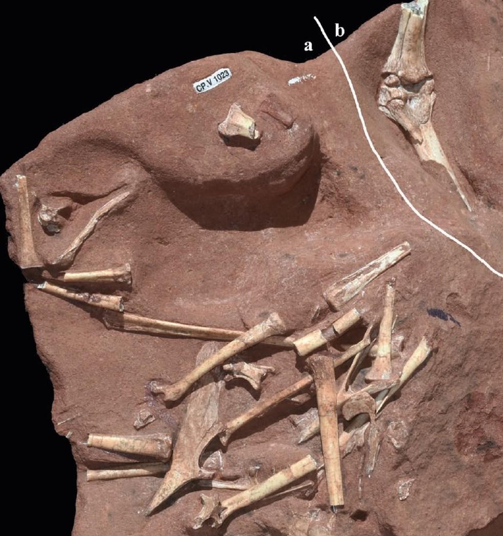 Fóssil de pteurossauro foi analisado na Universidade do Contestado — Foto: Universidade do Contestado/Divulgação