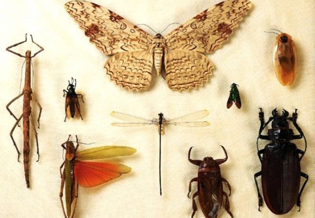 Perda de coleções de insetos abrigadas pelo Museu podem prejudicar pesquisas para além do Brasil (Foto: MUSEU NACIONAL | UFRJ via BBC)