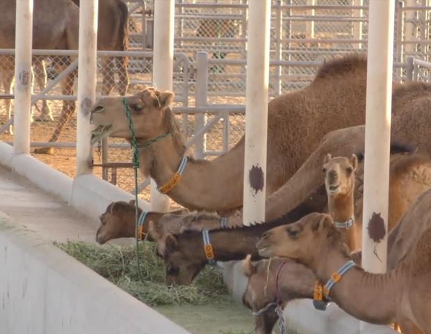 Camelos na fazenda da empresa  (Foto: Reprodução / Camelicious)