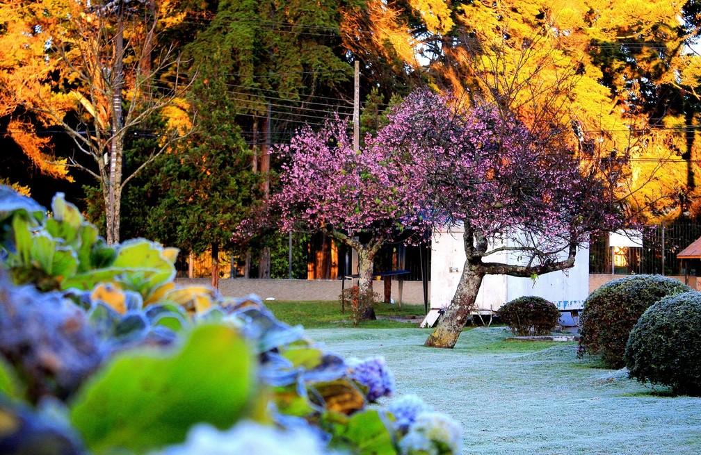 Cor das flores contrasta com o branco do gelo que encobre a grama — Foto:  Sérgio Tadeu Biagioni/Prefeitura de Campos do Jordão