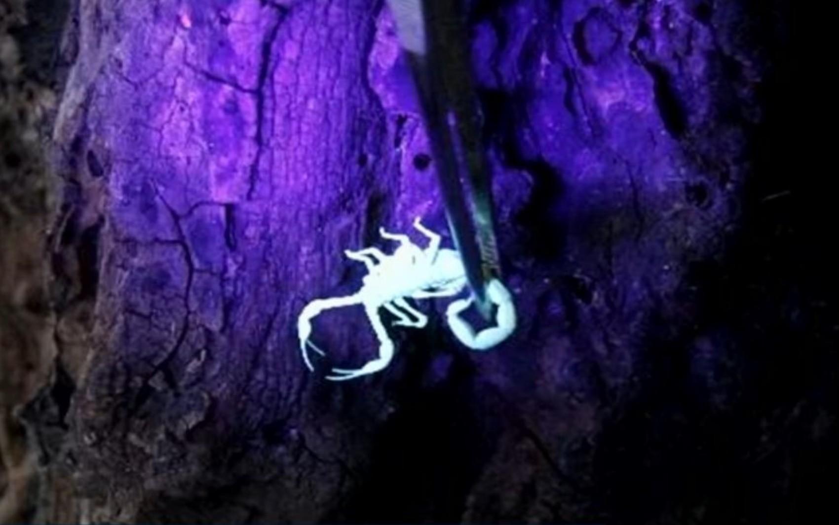 Prefeitura de Goiânia testa aparelho que deixa escorpião 'brilhando' para facilitar captura