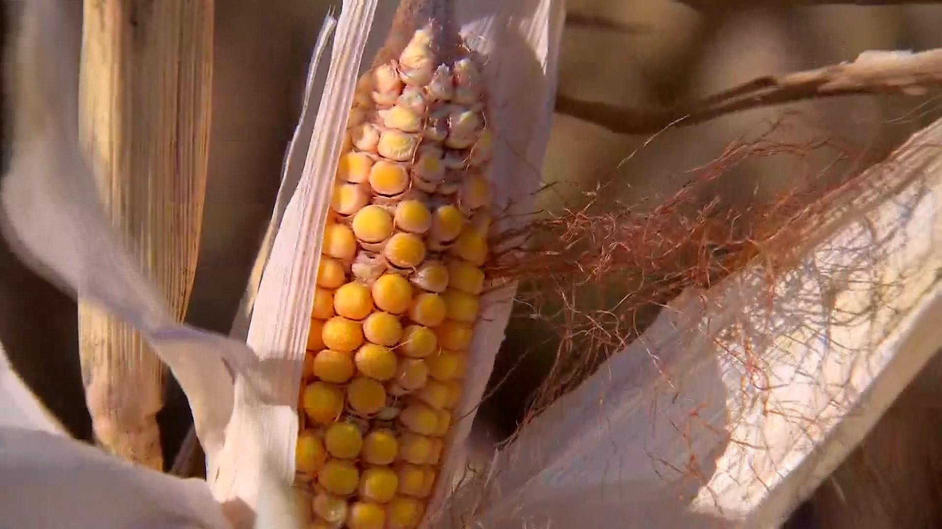 Safrinha do milho será menor por causa do clima