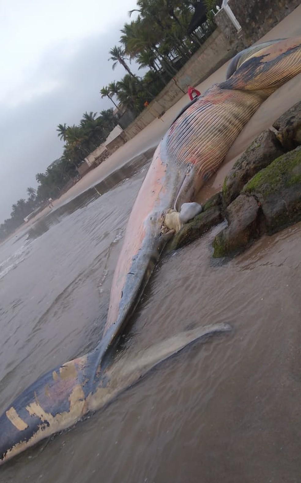 Baleia foi encontrada morta na Praia de Pernambuco, em Guarujá, SP — Foto: Arquivo Pessoal/Paulino Faria