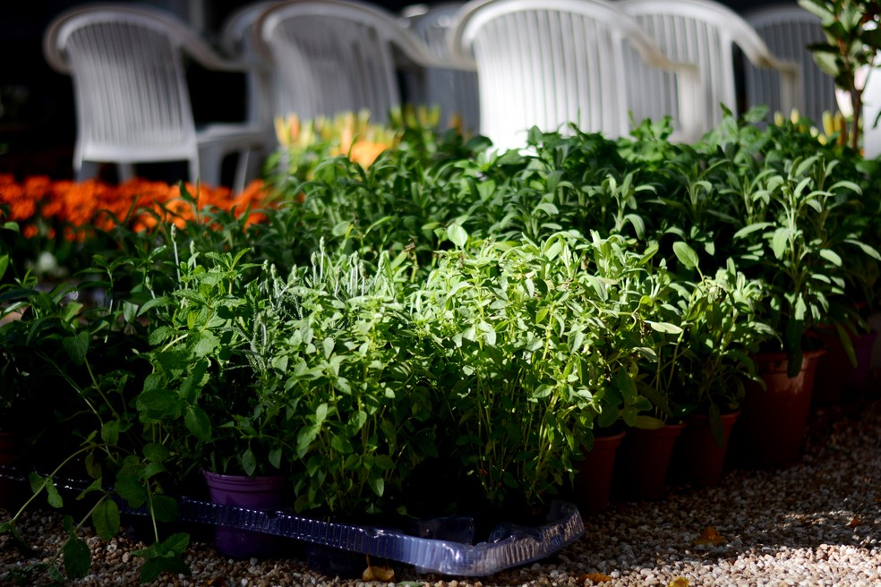 """Plantas de fácil cultivo, como ervas aromáticas, são """"banquetes"""" para as abelhas sem ferrão — Foto: Mirela Von Zuben/G1"""