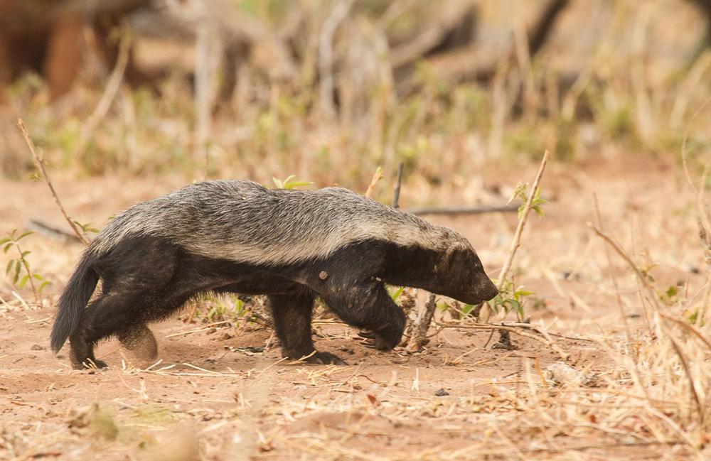 Ratel em Botsuana. O animal é um dos mais ferozes do mundo (Foto: Derek Solomon)