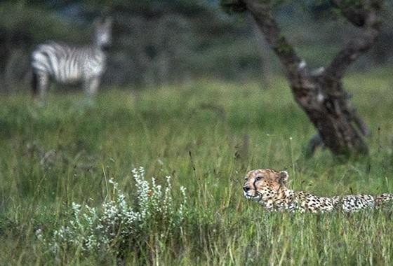 No Parque Nacional Serengeti, um guepardo vigia um grupo de zebras, enquanto uma zebra adulta, ao fundo, toma consciência da presença do predador (Foto: © Haroldo Castro/Época)