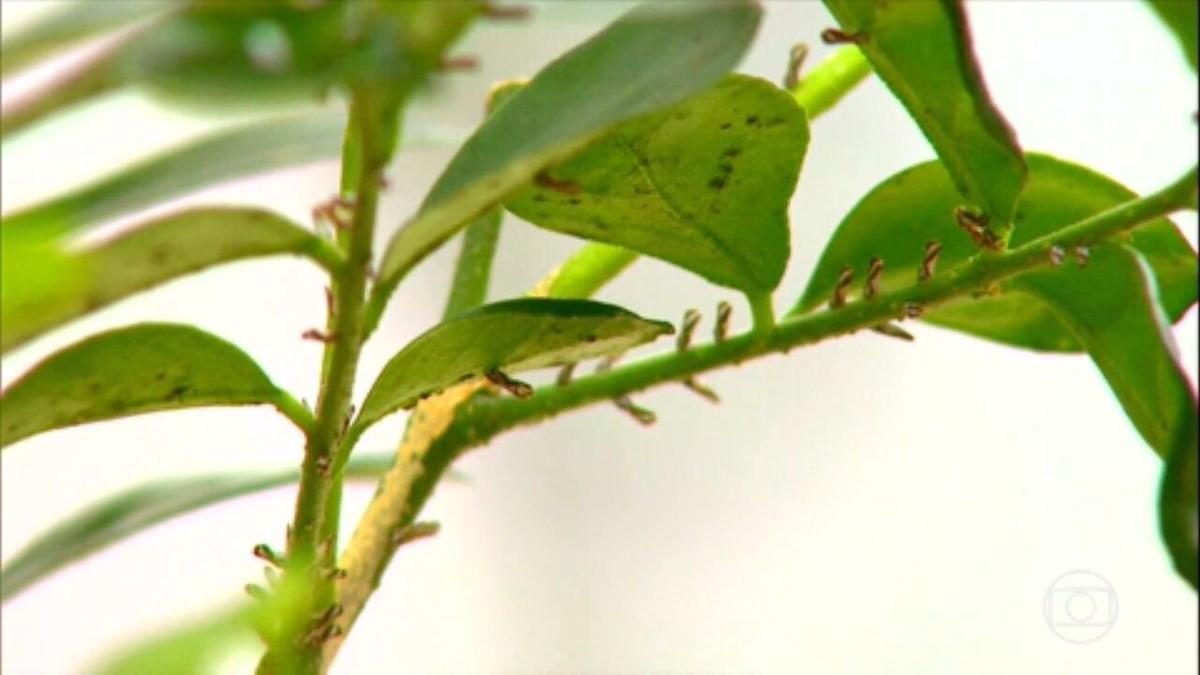 Produtores de laranja usam drones contra avanço do 'greening'