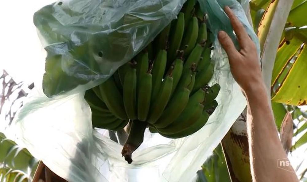Estiagem afeta produção de bananas no Vale do Itajaí