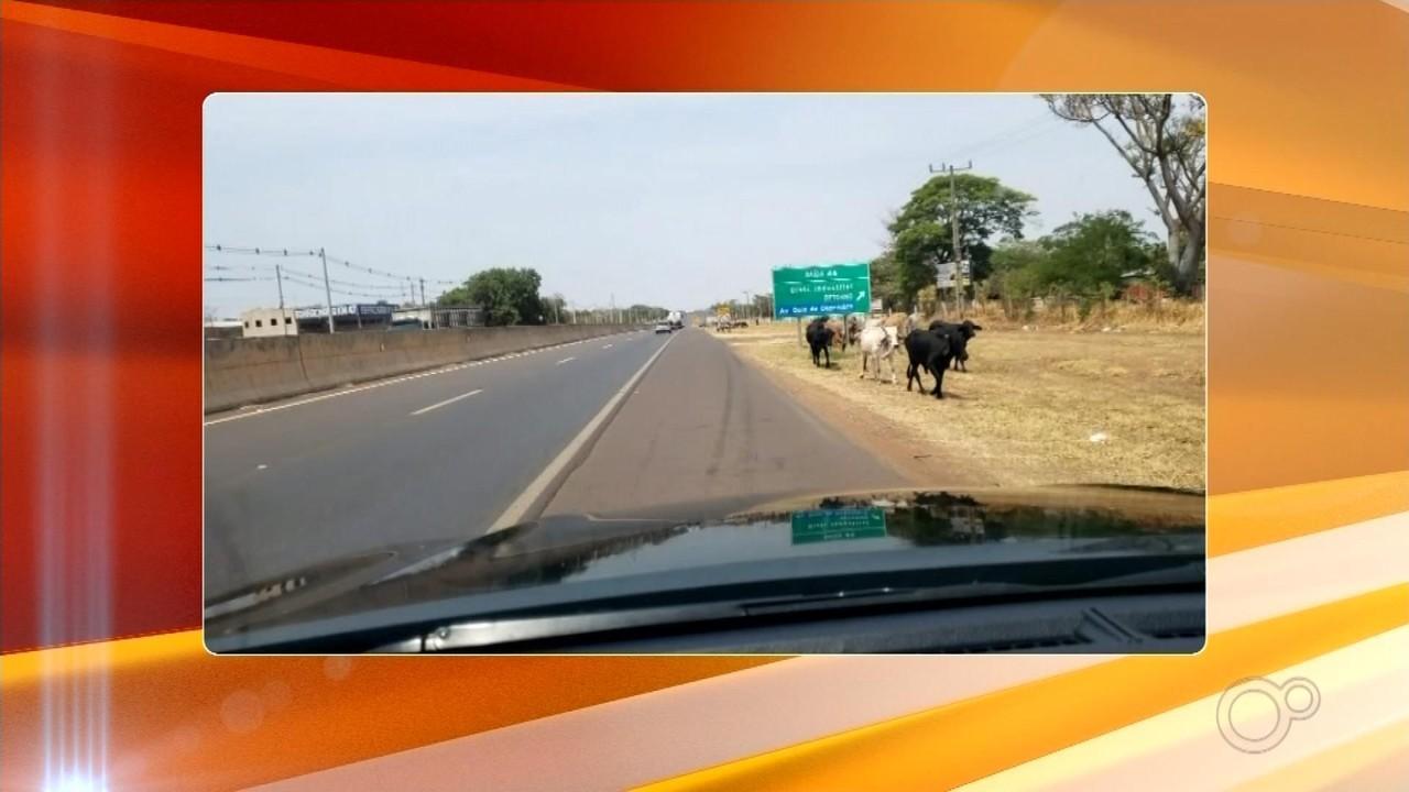 Região de Araçatuba registra mais de 70 acidentes envolvendo animais na pista