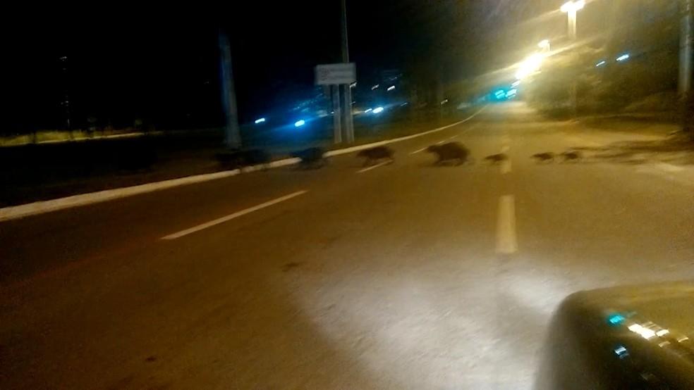 Famílias de capivaras atravessa avenida Theotônio Segurado em Palmas (Foto: Reprodução/TV Anhanguera)