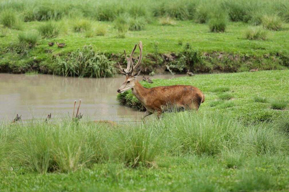 Antilopes cervicapras estão entre os animais que nasceram no zoo no ano passado  — Foto: Giuliano Gomes/PR Press