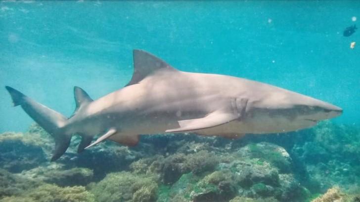 Tubarão da espécie limão é incluído em pesquisa em Fernando de Noronha