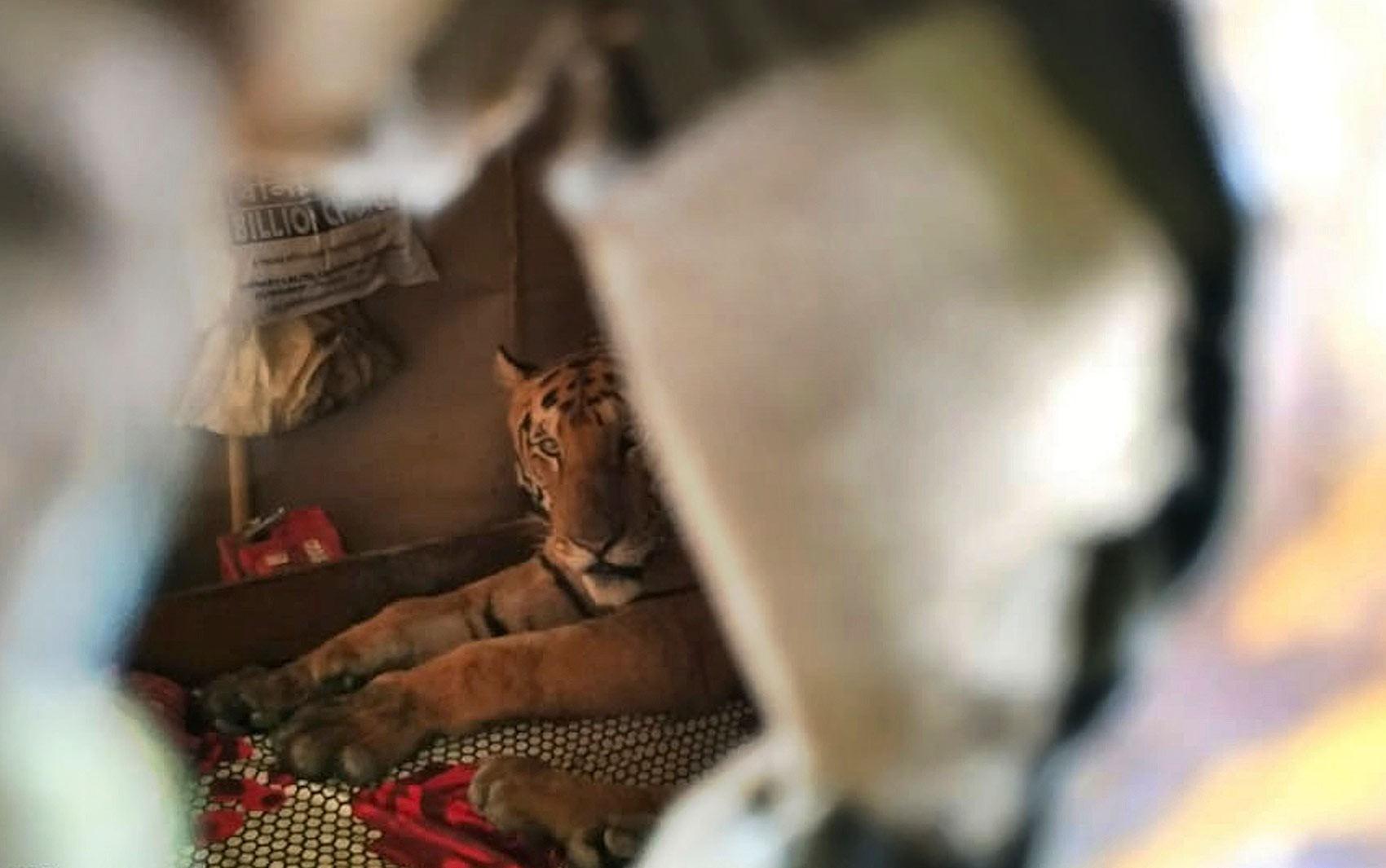 Tigre invade casa para fugir de inundação em parque na Índia - Notícias - Plantão Diário