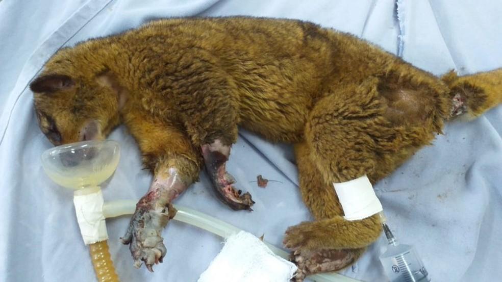 Veterinário de São Carlos viaja 1,2 mil km para cuidar de animais queimados no Pantanal — Foto: Arquivo pessoal