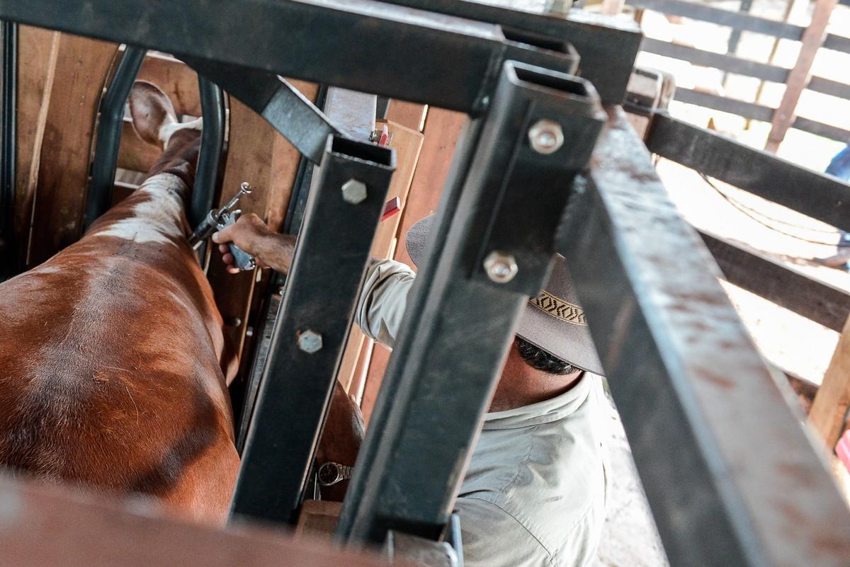 Campanha deve vacinar 14 milhões de animais contra aftosa em MT