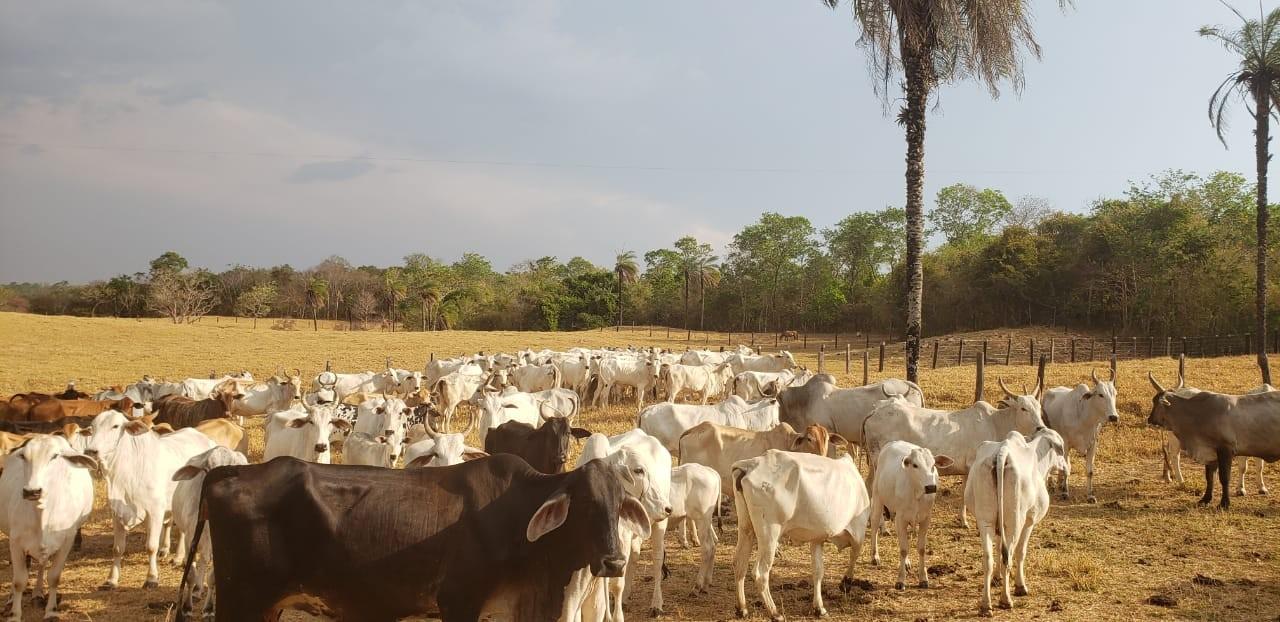 Polícia Civil recupera 39 cabeças de gado levadas de fazenda; animais estão avaliados em R$ 100 mil