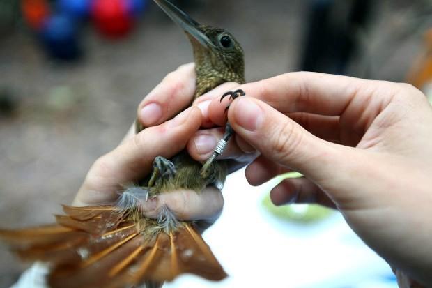 Aves capturadas recebem um anel de identificação (Foto: Nane Fagundes/Divulgação)