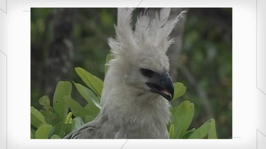 #tbt Globo Rural: relembre reportagem sobre a harpia