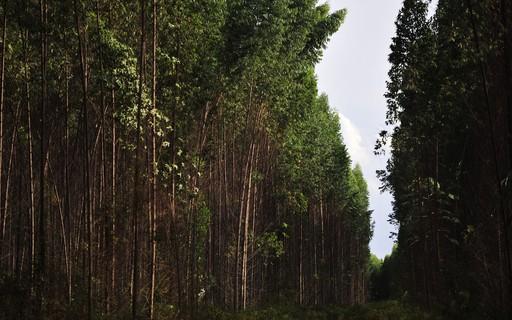 Pandemia aumenta procura por celulose para fabricar máscaras e produtos hospitalares, diz Indústria de Árvores