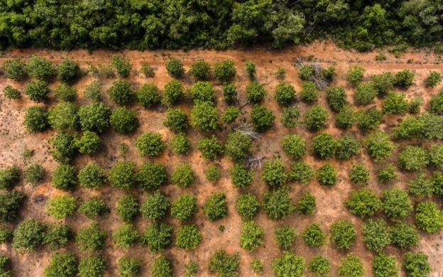 Pequizeiros cultivados na Terra Indígena Wawi (MT) em área que havia sido degradada por pecuária no passado (Foto: FÁBIO NASCIMENTO/ISA, via BBC News Brasil)