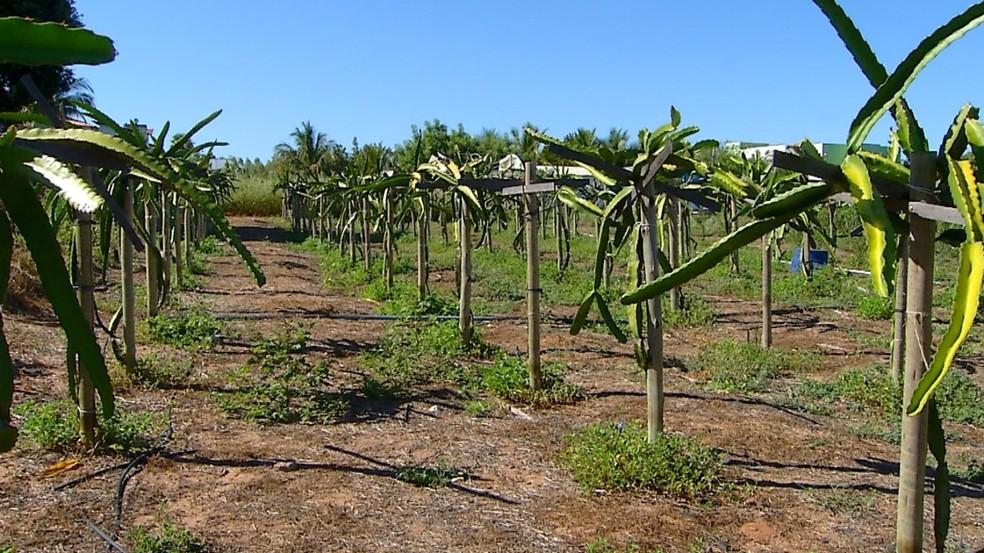 Produção de pitaya é estudada por pesquisadores da Ufersa, no Oeste potiguar. — Foto: Reprodução/Inter TV Costa Branca