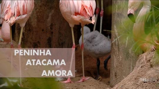 Internautas escolhem Peninha, Atacama e Amora como nomes dos filhotes de flamingo de zoo de SC