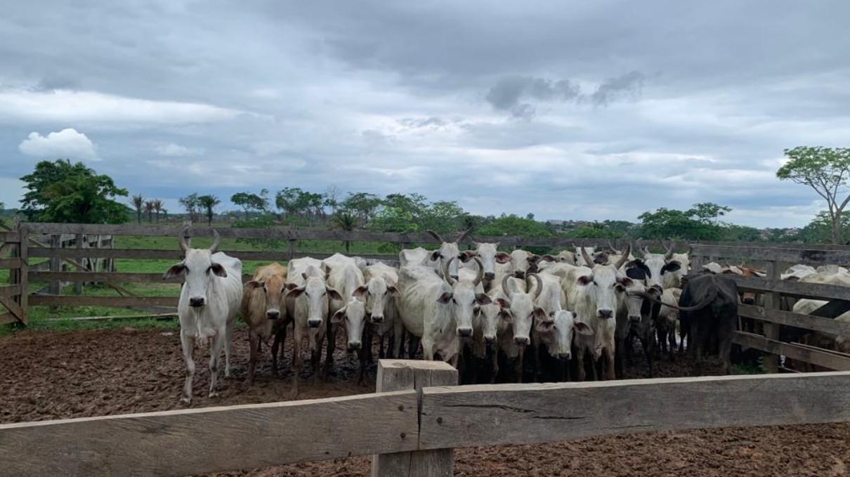 No AC, Polícia Civil recupera 11 cabeças de gado avaliadas em mais de R$ 40 mil e devolve ao dono