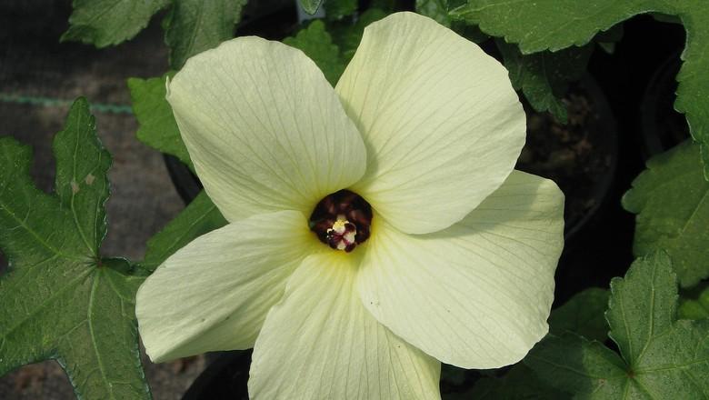 Hibiscus aculeatus (Foto: Helena Vieira/Arquivo Pessoal)