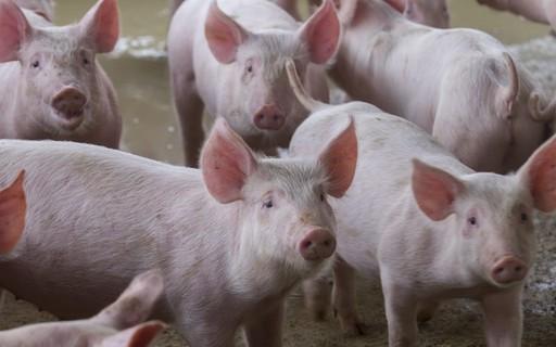 Poder de compra do produtor de suínos cresce pelo quinto mês seguido