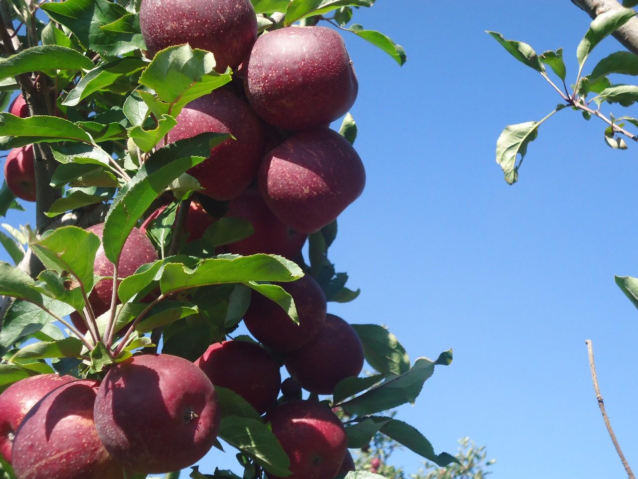 Produtores torcem para frio continuar e garantir boa produção de maçãs na Serra catarinense - Notícias - Plantão Diário
