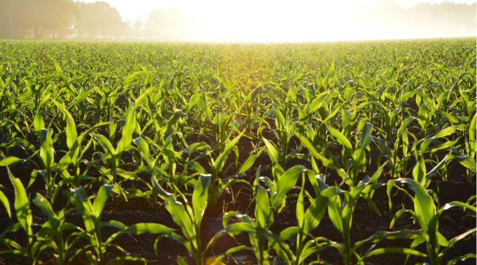 Valor irá subvencionar o seguro rural das culturas de inverno, especialmente milho e trigo (Foto: Pexels)