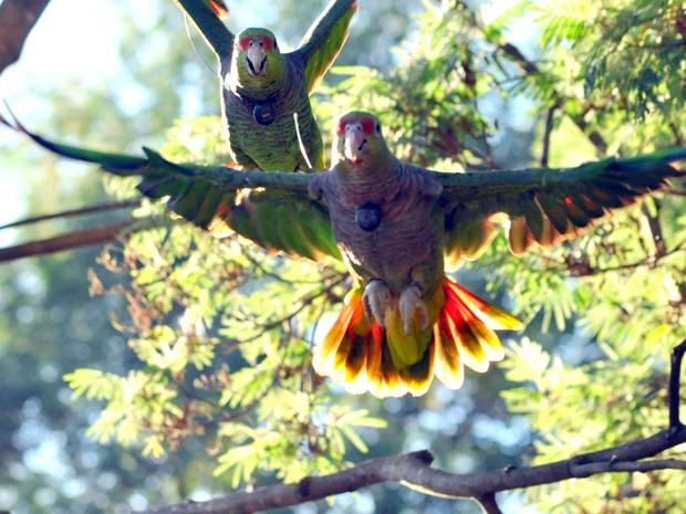 Primeiros papagaios foram soltos há três anos (Fot Vanessa Kanaan/Espaço Silvestre)