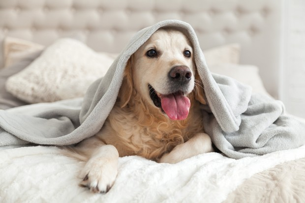Happy smiling young golden retriever dog under light gray plaid. Pet warms under a blanket in cold winter weather. Pets friendly and care concept. (Foto: Getty Images/iStockphoto)