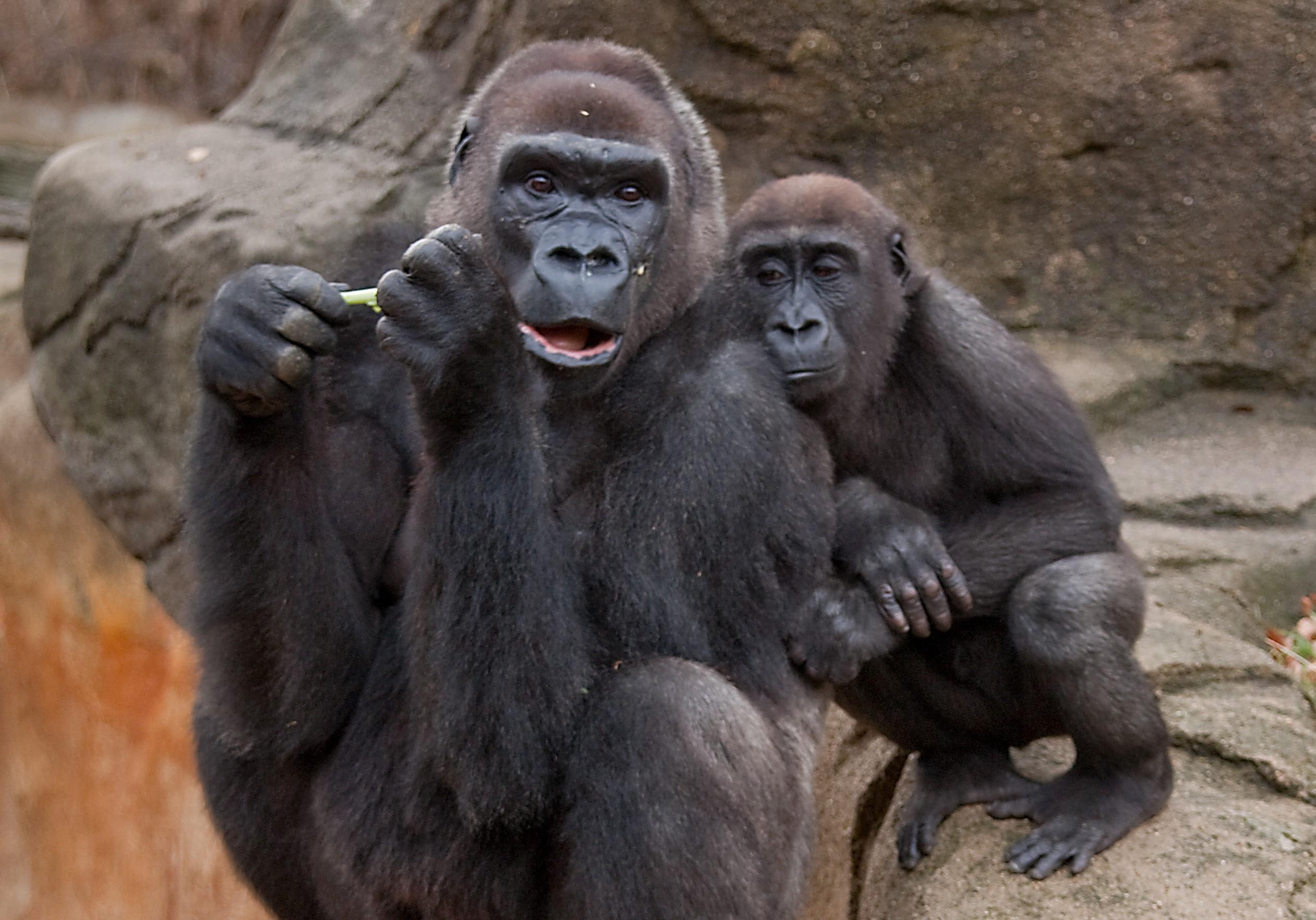 Estudo aponta que espécies de gorilas, orangotangos e golfinhos podem ter mais risco de terem uma infecção de SARS-CoV-2 (Foto: Greg Hume / Wikimedia Commons)