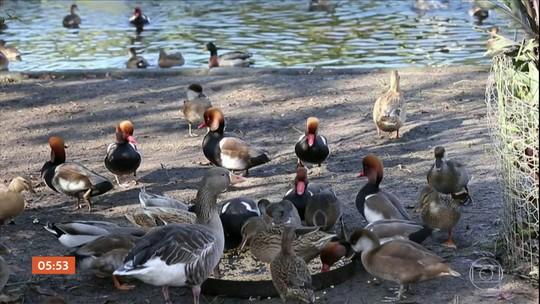 Vizinhos de criador de patos na França perdem processo contra barulho das aves