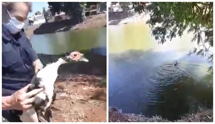 Pata vítima de maus-tratos é resgatada e solta em lagoa de Catanduva