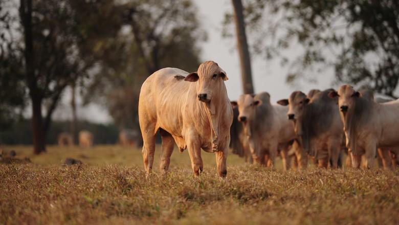 boi-corte-gordo-nelore-pecuaria (Foto: Ernesto de Souza/Ed. Globo)
