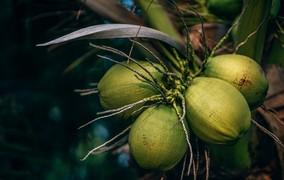 Processo transforma casca de coco em etanol