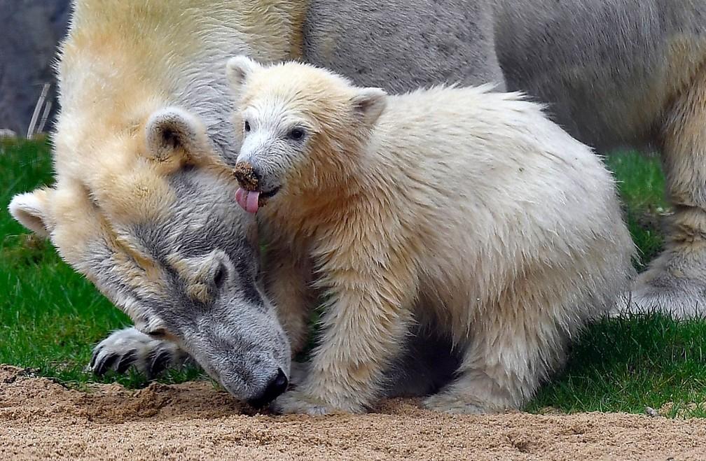 O filhote de urso-polar Nanook dá os primeiros passos sob olhar atento da mãe em recinto do zoológico de Gelsenkirchen, na Alemanha. Filho de Lara, Nanook nasceu em dezembro e só agora deu os primeiros passos do lado de fora da caverna artificial com a mãe (Foto: Martin Meissner/AP/Arquivo)