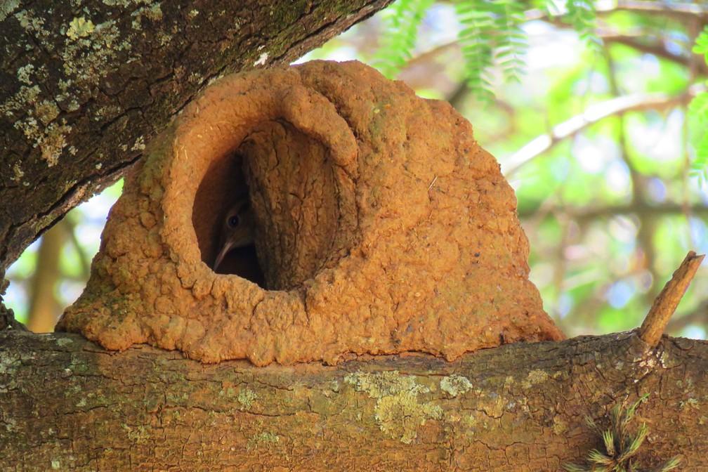 João-de-barro é flagrando de dentro do ninho (Foto: Maria Izabel Mosini/VC no TG)