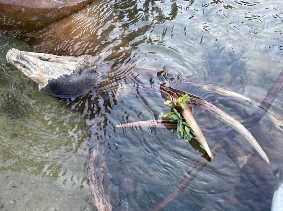Cervos foram avaliados pela PMA após serem flagrados no Rio Salobra (MS)  Foto: Gerson Prata/Arquivo Pessoal