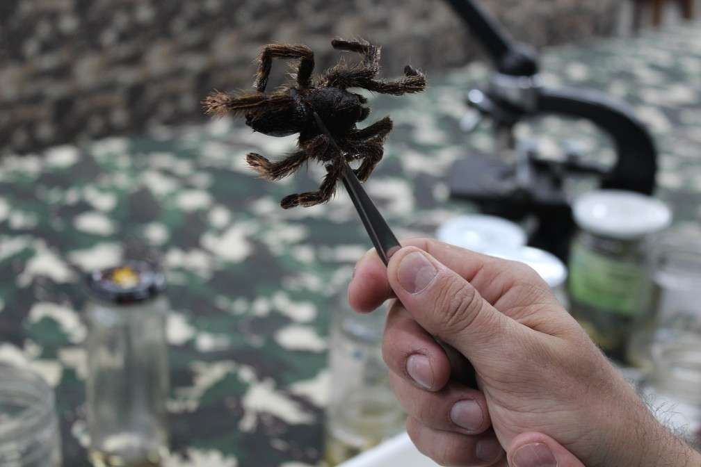 Aranha encontrada no Rio Juruá estava entre os itens do Museu Nacional  (Foto: Cássia Firmino/ G1 )