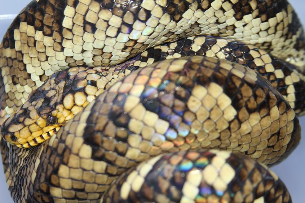 A serpente possui iridescência, fenômeno formado po componentes cristalinos que se acumulam nas escamas dessas cobras funcionam como um prisma e decompõe a luz do raio solar em diferentes cores. — Foto: Bruno Rocha/Arquivo Pessoal