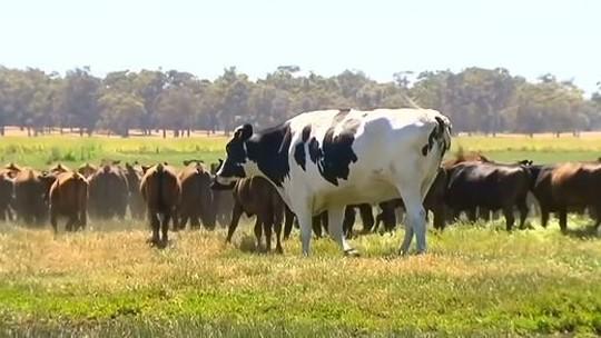 O boi gigante que chocou telespectadores de TV australiana e escapou do abate por ser 'grande demais'