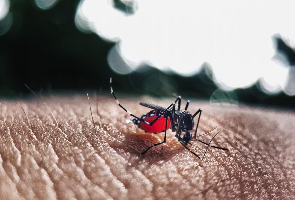 Fêmea do Aedes aegypti é responsável pela transmissão da febre amarela, dengue, chikungunya e zika vírus — Foto: Pixabay/Divulgação